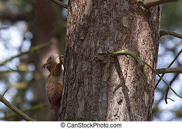 Red Squirrel  (Sciurus vulgaris) climbing  on a tree