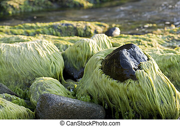 Stones covered in seaweed