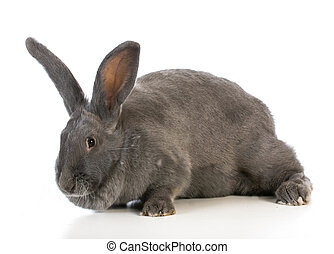 giant flemish bunny on white background