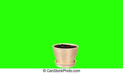 Grass growing in a pot green screen