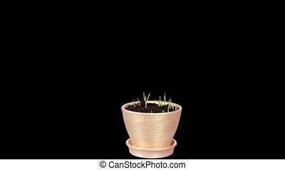 Grass growing in a pot ALPHA matte Full HD, Triticum L...