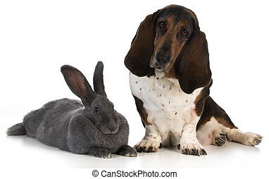 hunting dog - basset hound sitting beside a giant flemish...