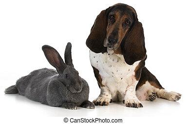 hunting dog - basset hound sitting beside a giant flemish...