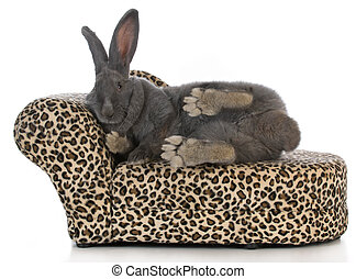 fancy bunny - giant flemish bunny stretched out on a leopard...