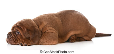dogue de bordeaux puppy laying down on white background - 5...