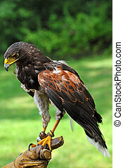 Falcon with Handler - Falconer Holding a Beautiful Falcon...