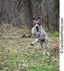 german shorthaired pointer running in the woods