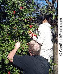 Applepicking 2 - Man helps girl pick ripe apples