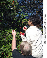 Apple Picking 4 - A man holds a girl up to an apple tree to...