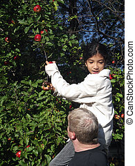 Apple Picking 5 - A man holds a girl up to pick apples, she...