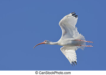 florida birds - White Ibis in flight Latin name - Eudocimus...