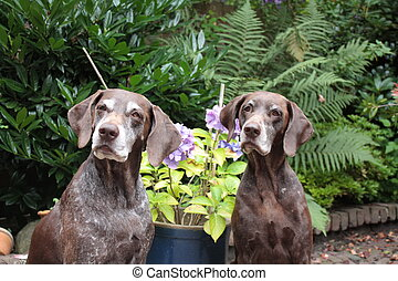 pointer sisters - two german shorthaired female pointers