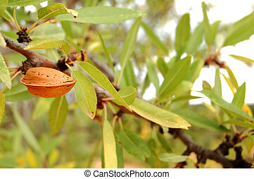 Almond tree with ripe fruits - Almond tree detail, branch...