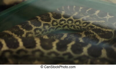 Anaconda Snake - Green anaconda snake laying on water. The...