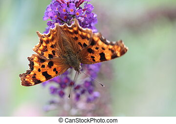 orange butterfly - Comma butterfly or Polygonia C Album on...