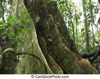 Buttress roots of a large rainforest tree - In the...