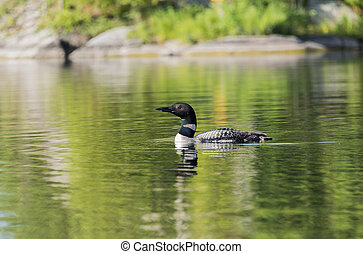 Loon on a Calm Lake - Selective focus on a loon on a...