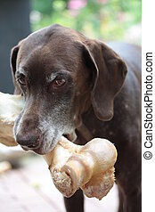 Pointer with big bone