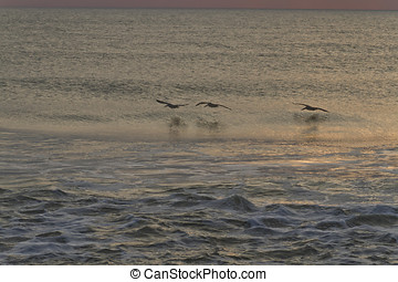 Pelicans Hunting In a Dusky Sea - A row of three pelicans...