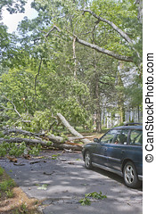 Downed Oak Tree Blocks a Road - Car driving along a road is...