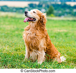 Golden Retriever - beautiful dog breed golden retriever,...