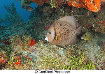 gris, Angelfish, en, Un, coral, arrecife, -, Roatan,