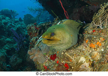 Green Moray on a Coral Reef - Roatan - Green Moray...