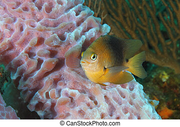 Threespot Damselfish and Sponge - Threespot Damselfish...