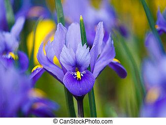 purple iris, violet flowers in garden with blur background
