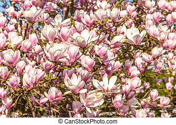 Magnolia - Nature background with resh, pink, spring...