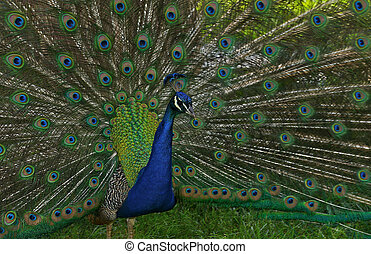 Male peacock with tail feathers spread. - Male peacock with...