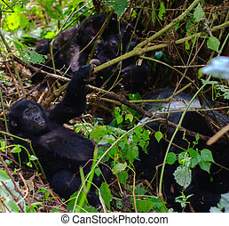 Relaxing - A baby silverback gorilla relaxes near its family...