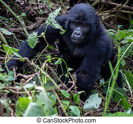 Baby Silverback - A baby Silverback Gorilla looks at nearby...
