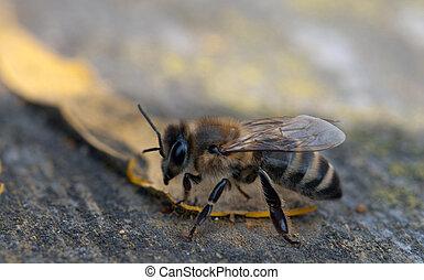 workwoman bee - A little workwoman is a bee