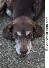 German shorthaired pointer - Female pointer, aged 9