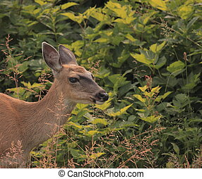 Sitka black-tailed deer - Wild Deer from Queen Charlotte...