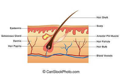 Structure of Hair - Labelled illustration of a hair...