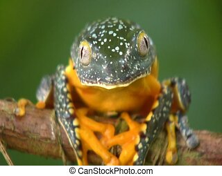 Amazon leaf frog Cruziohyla craspedopus - blinks and turns...