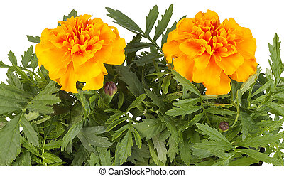 Tagetes flowers closeup