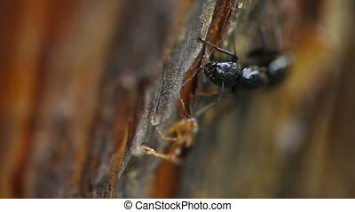 Black Ant - Close up black ant in forest