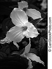 Trillium - A black and white photo shop image of trilliums.
