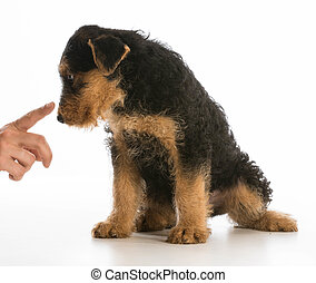 scolding puppy - airedale puppy being trained isolated on...