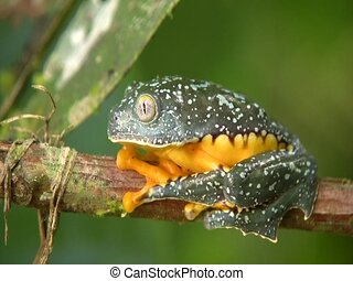 Amazon leaf frog Cruziohyla craspedopus - sitting on branch,...