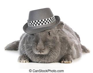 funny bunny - giant flemish rabbit wearing fedora on white...