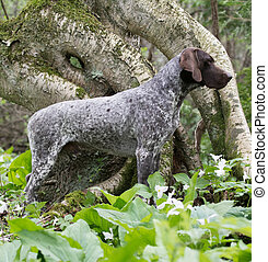 German shorthaired pointer - german shorthaired pointer...