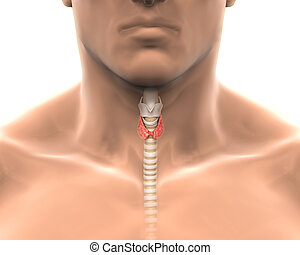 Human Thyroid Gland Illustration. 3D render