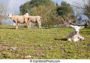 Baby lamb and her maternal sheeps