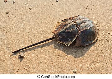 Horshoe crab