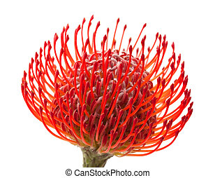 red protea flower isolated on white background
