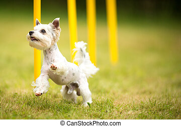 Cute little dog doing agility drill - running slalom, being...